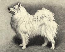 German Spitz von Heinrich Sperling (1844–1924). Die Zeichnung ist von 1909.