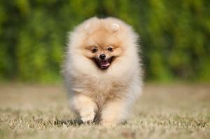 Spitz Hund kaufen