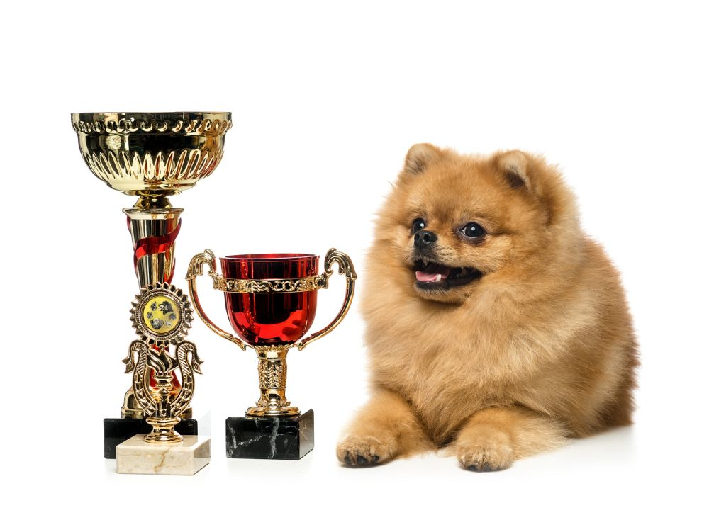 Spitz Deckrüde Champion
