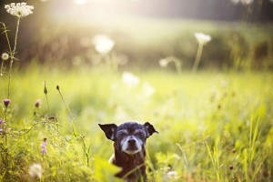 Chihuahua Lebenserwartung