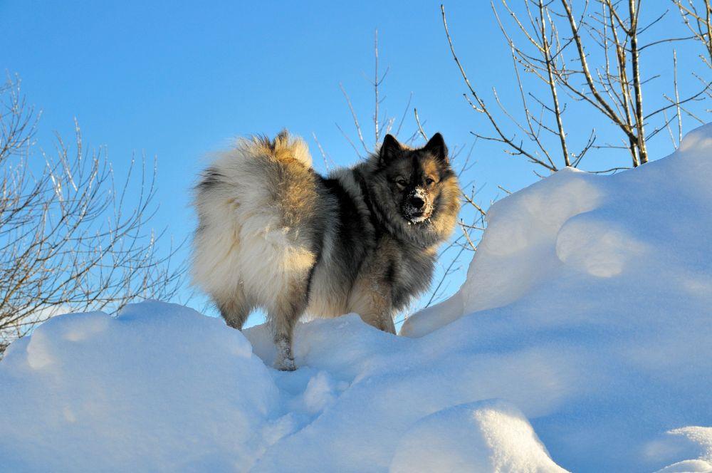 Hund steht im Schnee Wolfsspitz